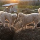 Lochie and Archie Practice Their Bale-Jumping Skills at Sunrise on the Farm