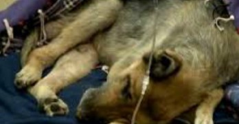 German Shepherd Found Nearly Frozen to Death Rescued by Staff at Emergency Room