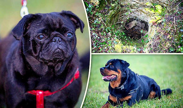 12-20-16-hero-rottweiler-saves-a-pug-trapped-in-a-hole-for-10-days1