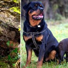 Hero Rottweiler Saves a Pug Trapped in a Hole for 10 DAYS