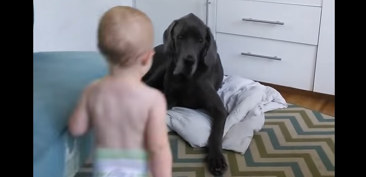 This Is How a 25-Pound Baby Shows a 150-Pound Great Dane Who's Boss In These-Here Parts