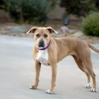 Aki Was Pulled Last Minute from a Local Animal Control, and Has Been Stuck in Foster FOREVER!
