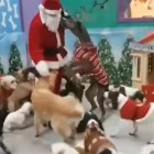 "Santa ""Paws"" Stops By the Doggie Lodge to Drop Off Gifts for all the Good Dogs"