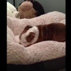 English Bulldog Puppy Flips-Out Over Getting a New Doggie Bed as a Gift