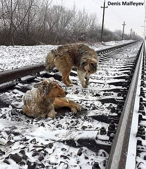 12-26-16-brave-dog-protects-injured-girlfriend-from-oncoming-train1