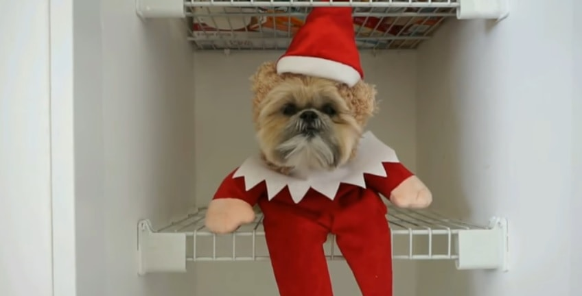 Munchkin, the Dog That Looks Like a Teddy Bear, Wishes You a Merry Christmas!