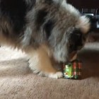 Crazy-Smart Dog Opens Christmas Gift All on His Own!