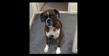 Boxer Doesn't Want to Take a Bath, So He Pretends to Be Asleep!
