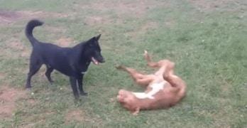 German Shepherd and Pit Bull Best Buddies Enjoy Playtime Together!