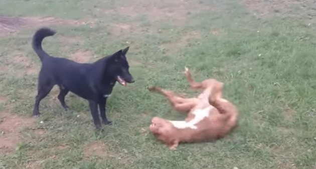 German Shepherd and Pit Bull Best Buddies Enjoy Playtime Together!