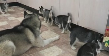 Husky Gets to Meet His Puppies for the First Time, and His Reaction Is Just Too Cute!