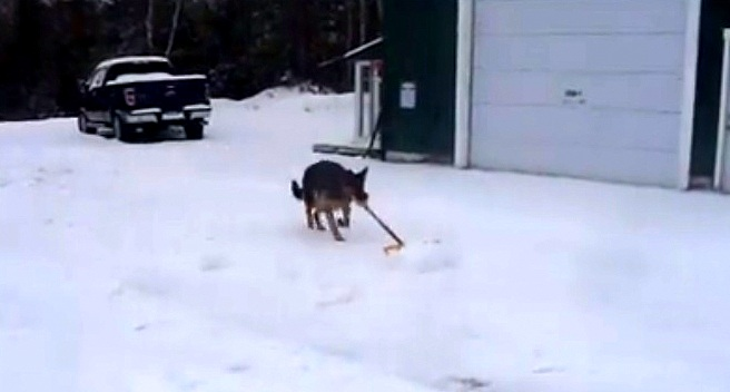 German Shepherd Has an Absolute Riot Shoveling the Driveway