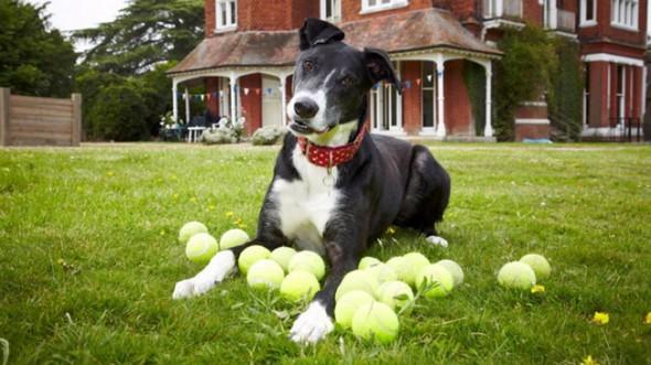 bud-the-greyhound