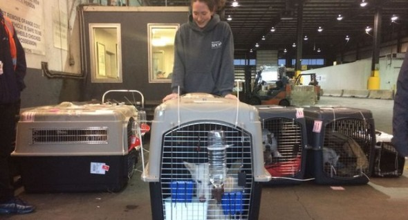 Laura Palin, admissions manager at the Richmond SPCA, wheels out a recently arrived dog from the cargo area at the Dulles International Airport. Photo: Debbie Truong