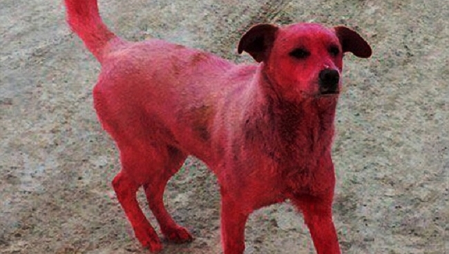 Dog Cruelly Painted Pink and Abandoned in the Streets Has Been Rescued