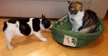 Scrappy Frenchie Wants Bed Back, Cat Gives Zero F&%@s