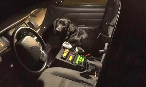 Ruger rides shotgun in Deputy Hammell's cruiser. Photo: Tuolumne County Sheriff/Facebook