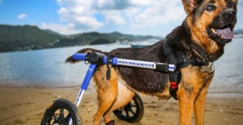 Hong Kong Wheelchair Dog Wins Spot in International Pet Calendar