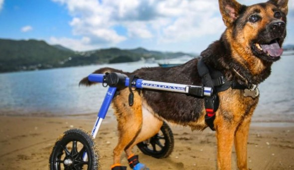 Tessa's owners got her a wheelchair when she was diagnosed with canine degenerative myelopathy. Photo: Xiaomei Chen