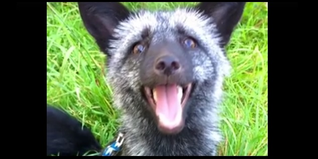 Adorable Fox Is Rescued from Fur Farm and Taken to a Better Life at a Sanctuary