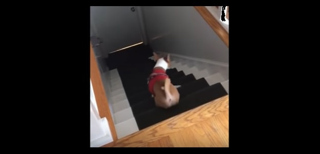 A VERY Confused Dog Forgets how Stairs Work…