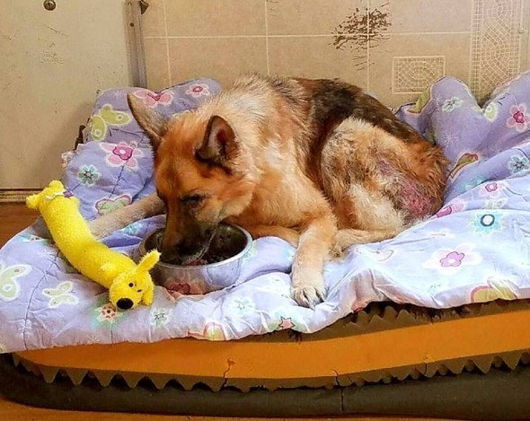 1.12.17 - German Shepherd Thrown from a Car Is Rescued4