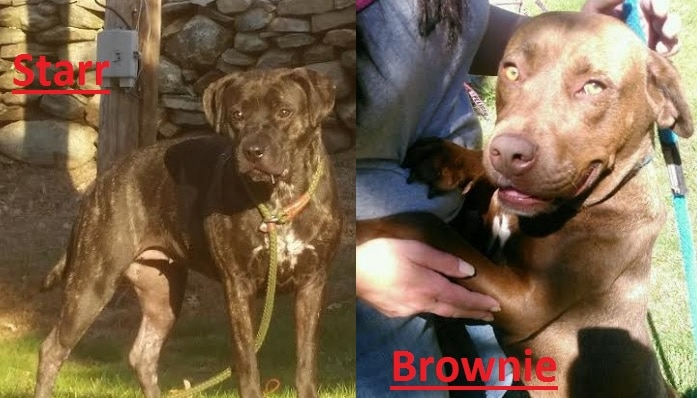 Brownie and Starr Are a Couple of Special Bully Breeds Just Waiting to Make You Smile!