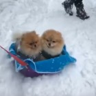 Two Adorable Little Powder-Floofs Have a Sleigh Ride