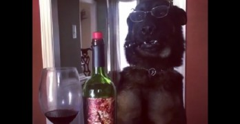 Baron the GSD Is Doing the Mannequin Challenge and Looking Suave!