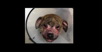 Puppy With Burned Face Is Rescued and Doing Great In the Care of a Loving Foster Family