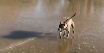 "Blue Staffy Tries Out ""Ice Skating"" for the First Time"
