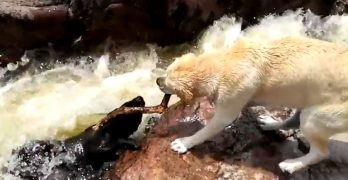 """Heroic"" Dog Uses Stick to Rescue Buddy from Fast-Moving Water"