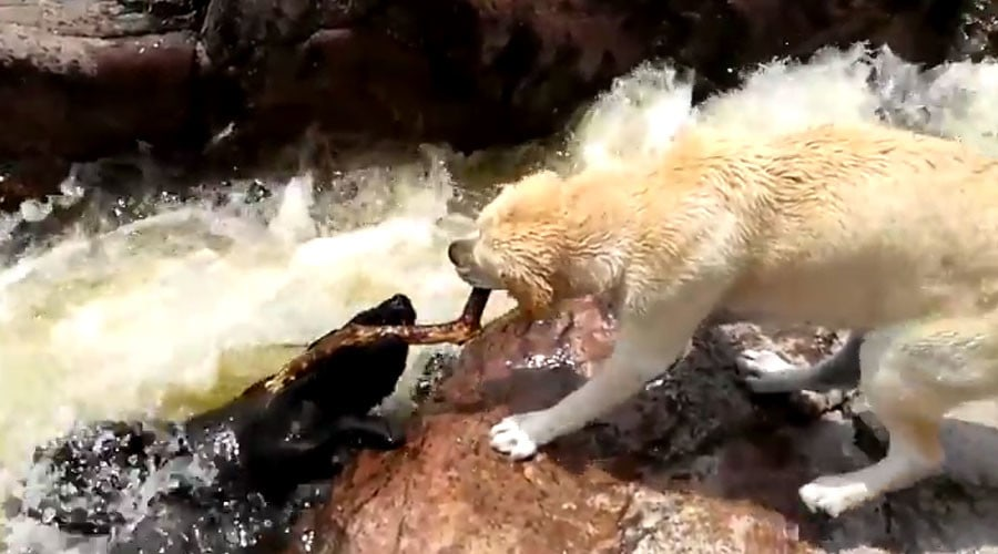 """""""Heroic"""" Dog Uses Stick to Rescue Buddy from Fast-Moving Water"""