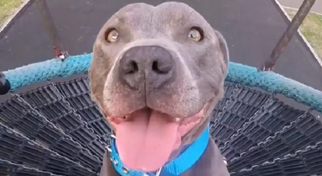 Adorable Blue Staffy Has a Blast Riding on the Swing