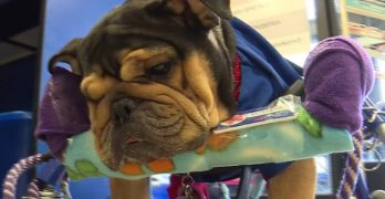 Paralyzed Dog Rescued from Puppy Mill is Given a Wheelchair and a Second Shot at a Good Life