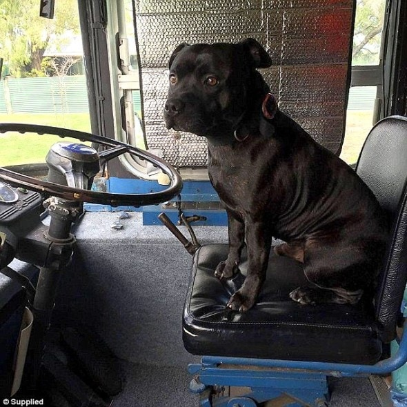 1-4-17-staffy-saves-elderly-man-lying-in-the-heat-for-two-days1