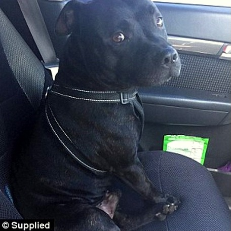 1-4-17-staffy-saves-elderly-man-lying-in-the-heat-for-two-days3
