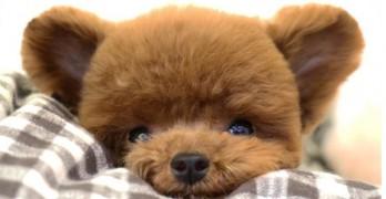 Itty-Bitty Poodle Looks Like a Tiny Teddy Bear!