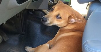 #LittleBrownDog: Lost Pooch From Hurricane Matthew Gets New Name, New Home, New Job