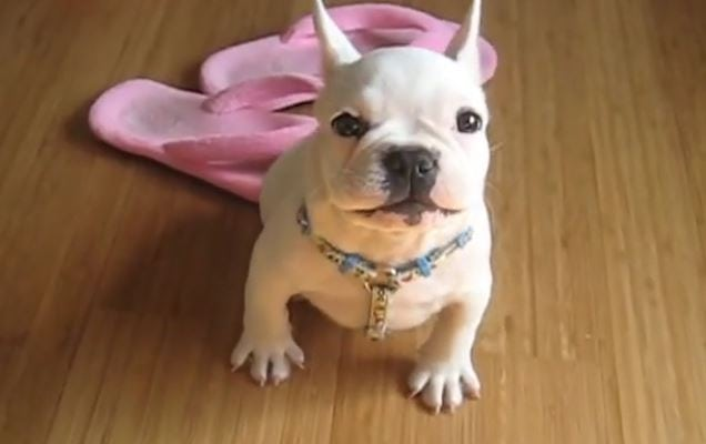 """Cuteness Overload: Frenchie Puppy Learns to """"Talk"""" With His Papa"""