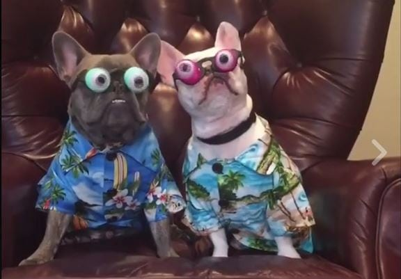 Frenchies Aloha Shirts Googly Eyes Nuff Said
