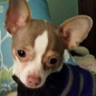 FOUND! Owner Reunited with Stolen Chihuahua 31 Days After Theft