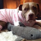 Long-Abused Pit Bull Who Never Knew Play Finds True Love … In A Toy Shark