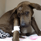 Broken & Battered, Sweet Little Remy Needs Assistance Now
