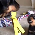 Adorable Rottie Pup Battles Big'Un for Toy