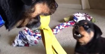 Adorable Rottie Pup Battles Big'Un for Toy