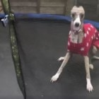 "Whippet Good! This Dog Seriously ""Digs"" the Trampoline!"