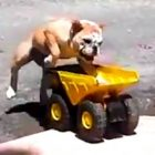 Bulldog Loves Going for Rides in His Dump Truck