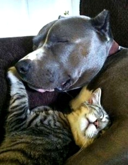 Best Dog Food For Labs >> The Love Story Between Pit Bulls and Their Kittens - LIFE WITH DOGS
