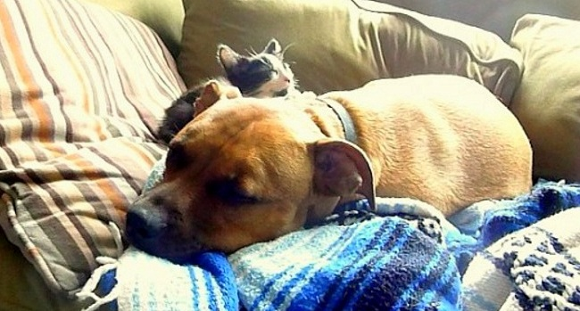 The Love Story Between Pit Bulls and Their Kittens